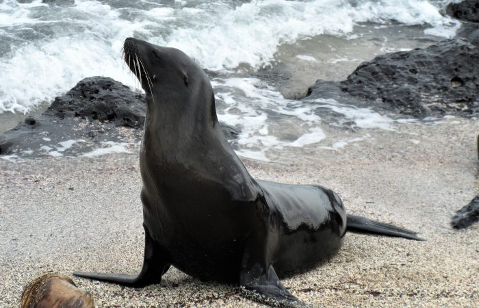 A black seal lying on rocky sand of one of the galapagos beaches